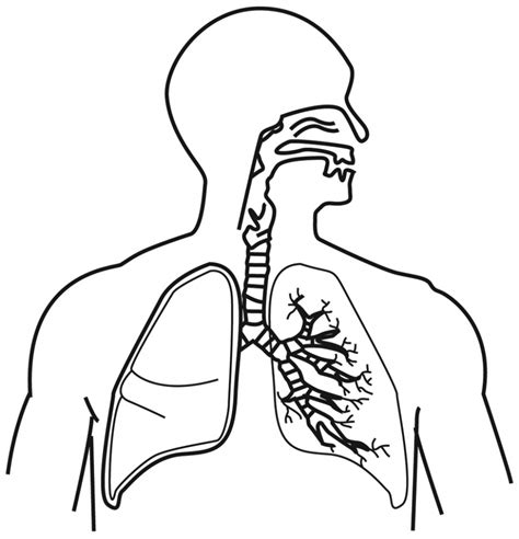 draw diagram diagram of human respiratory system and label images how