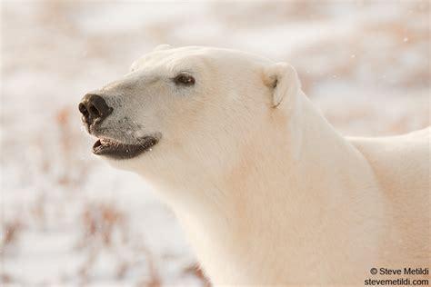 Bears Smile smiling polar