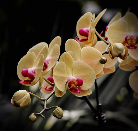 Läuse An Orchideen 3834 by Free Photo Moth Orchid Phalaenopsis Flowers Free