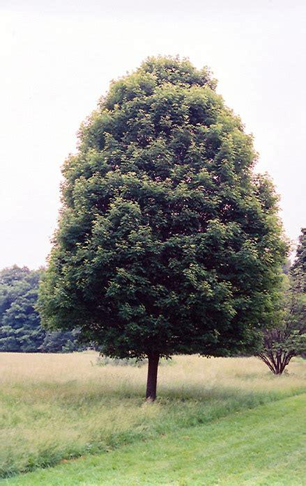 karpick maple tree karpick maple acer rubrum karpick in hamilton burlington waterdown dundas ontario