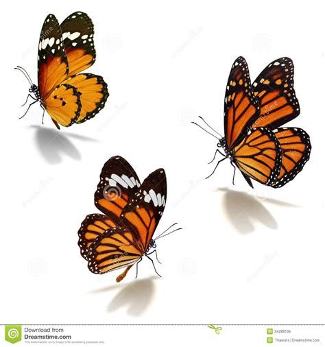 three orange monarch butterfly stock image image of