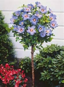 hibiscus de jardin sur tige bleu achat hibiscus