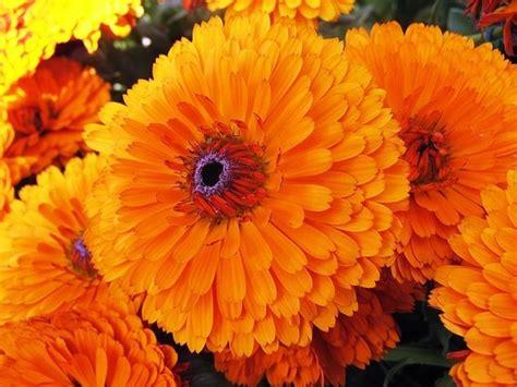 calendula fiori calendula calendula piante annuali caratteristica