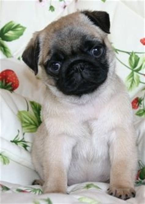 are pugs color blind pugs on pugs pug puppies and pug puppies