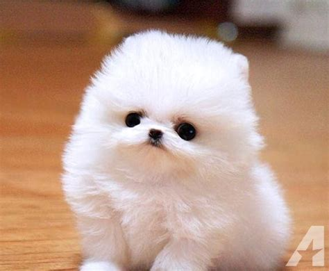 mini pomeranian puppy for sale micro mini pomeranian puppies memes
