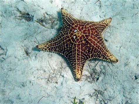 gambar wallpaper bintang laut gambar gambar bintang laut wallpaper