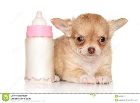 puppy bottle chihuahua puppy and baby bottle stock photo image 56506214