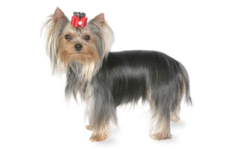 what were yorkies bred for terrier guide breed personality more canna pet