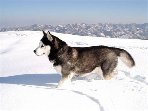wallpaper husky wallpapers siberian husky
