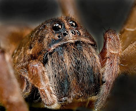 wolf spider images wolf spider free stock photo domain pictures