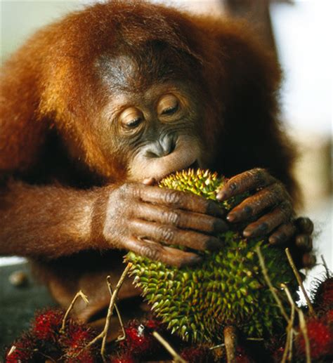 Durian Cup Quot what did orangutans eat tens of thousands of years ago