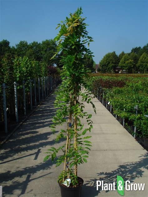 blauwe regen verplaatsen wanneer wisteria sinensis uprolificu blauwe regen l pot with