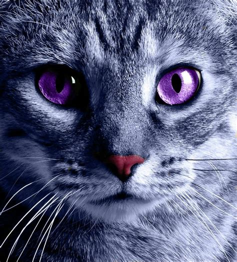 Softlens Cats Eye Soflens Cats Eye image gallery kittens with purple