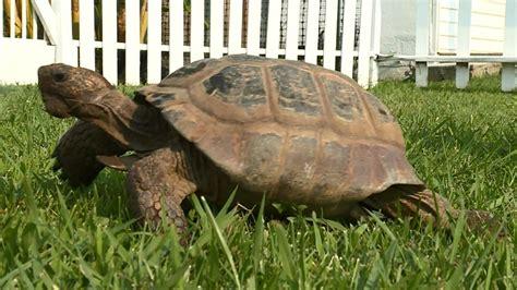 year  missing pet tortoise   miles
