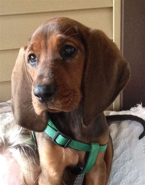 Hw Regbone top 479 ideas about i redbone coonhounds on coon hound and