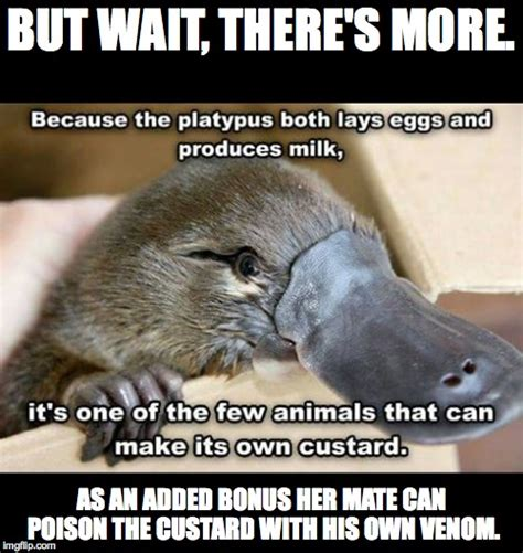 Platypus Meme - cute animals imgflip
