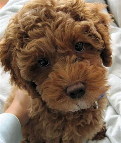 cocker spaniel poodle mix puppies 17 best ideas about poodle mix on poodle mix puppies fluffy dogs and