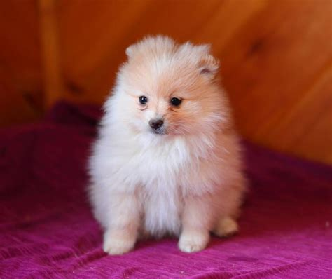 pomeranians for sale canada pomeranian puppies for sale in ontario canada breeds picture