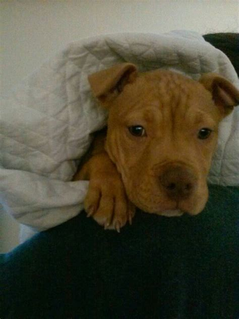 10 week pitbull puppy pin by puppy martinez on olive the puppy friends