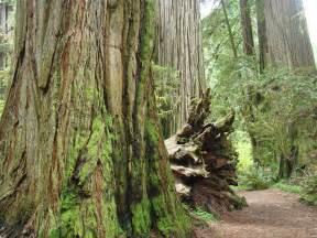 Coastal Duvet Covers Big California Redwood Tree Forest Art Prints By Baslee