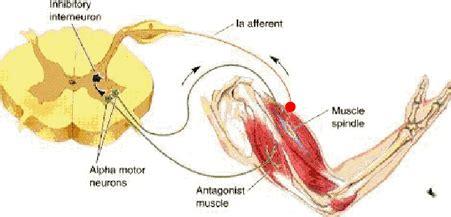 vestibulocochlear reflex proprioception