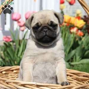 pug puppies for sale in md miniature pug puppies for sale in de md ny nj philly dc and baltimore