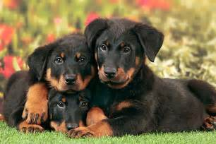 Beauceron puppies doglers