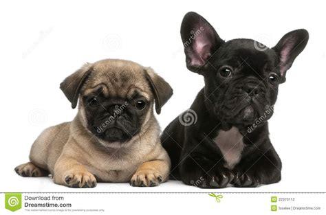 bulldog or pug pug puppy and bulldog puppy 8 weeks stock photo image of laying breed