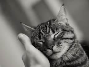 imagenes impresionantes de gatos 191 son los gatos afectuosos 6 se 241 ales para saber si te