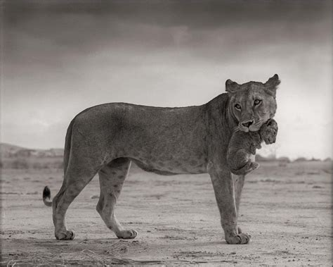 across the ravaged land lioness holding cub in mouth fubiz media