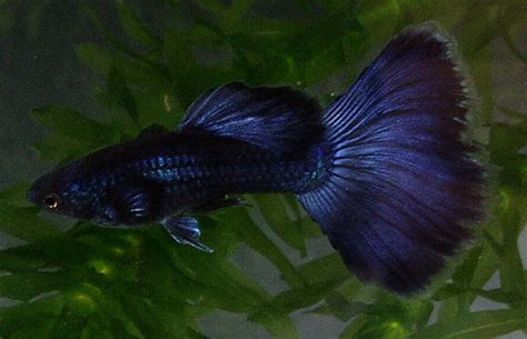 blue moscow delta guppy male  fish adult colorful blue
