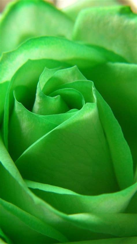 wallpaper green rose green rose iphone 5 wallpaper hd