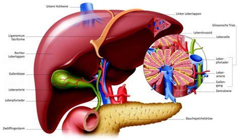 innere organe des menschen schaubild innere organe des menschen schaubild innere organe
