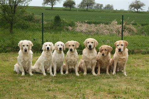 dogs like golden retrievers free images dogs golden retriever vertebrate labrador retriever breed pack