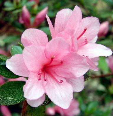 Bibit Bunga Camelia jual benih bibit tanaman bunga azalea lengkap murah