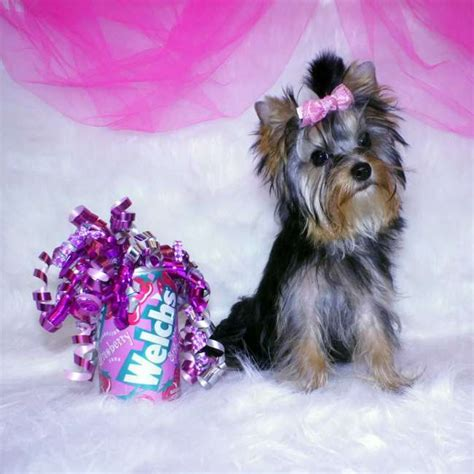 small teacup yorkies small yorkie puppy for sale breeds picture