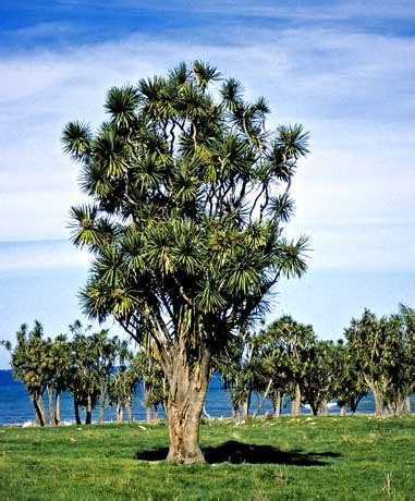 tī kōuka new zealand cabbage tree shrubs and small