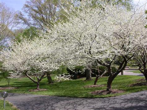 ref missouri botanical garden cercis canadensis f alba royal white garden lush natural