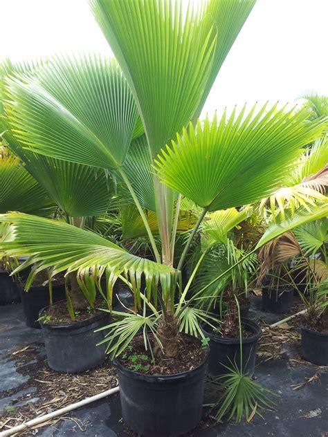 palm tree fan blades rare island tropical foliage homestead fiji fan palm