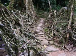 Living Bridges by Untold Stories Living Root Bridges In Meghalaya India