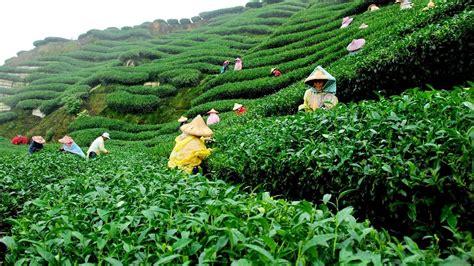 beautiful tea garden gowainghat  sylhet bangladesh full