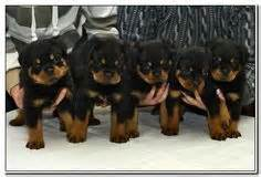 rottweiler breeders in mn 1000 ideas about german rottweiler on rottweiler puppies rottweilers and