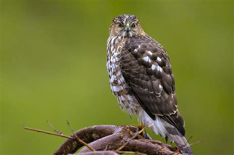 birds of bc no 19 coopers hawk accipiter cooperii