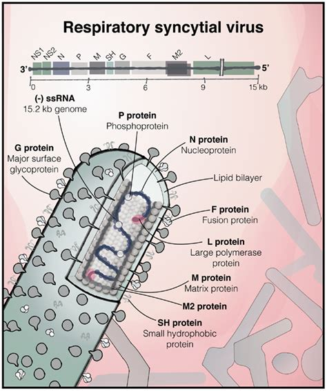 rsv f protein frontiers immunity to rsv in early immunology