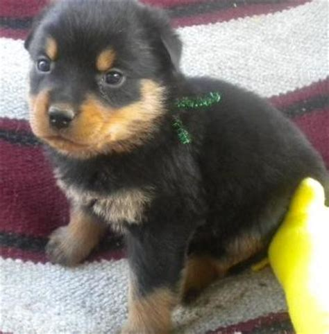 buy a rottweiler puppy for cheap for sale by owner ireland autos post