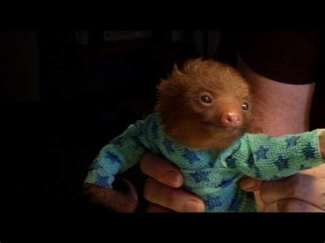 Tiny Baby Sloth gets the Onesie Treatment   'Meet The