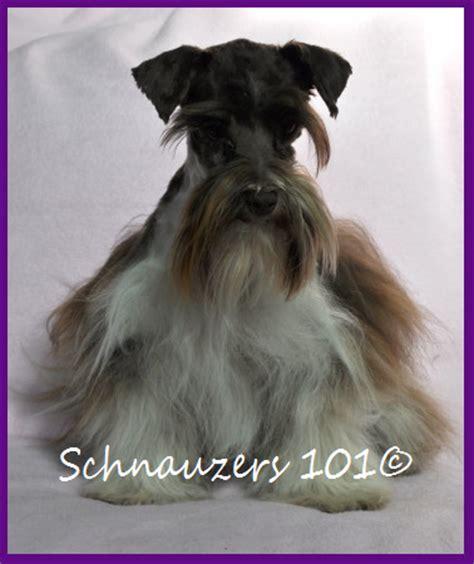 schnauzer puppies colorado akc black and silver phantom schnauzers breeds picture