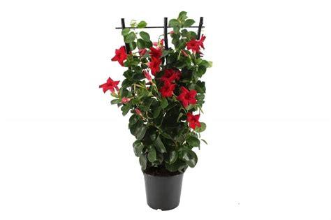 gestell auf englisch mandevilla florastore