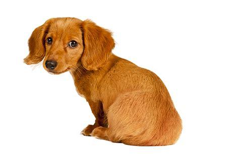 puppy puppy puppy puppy dachshund puppies dogtime