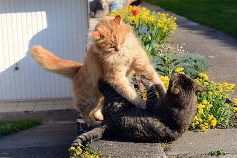 7 Ways To Stop A Cat Fight by Cat Behavior How To Stop The Violence Of A Cat Fight